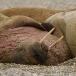 walrus-walrus-06