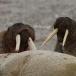 walrus-walrus-09