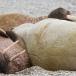 walrus-walrus-14