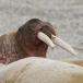 walrus-walrus-15