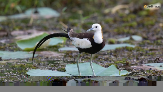 Waterfazant-Pheasant-tailed-jacana-04