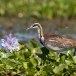 Waterfazant-Pheasant-tailed-jacana-01