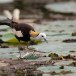Waterfazant-Pheasant-tailed-jacana-05