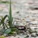 Waterfazant-Pheasant-tailed-jacana-07