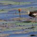 Waterfazant-Pheasant-tailed-jacana-08
