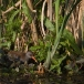 waterral-water-rail-03