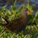 waterral-water-rail-04