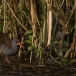 waterral-water-rail-05