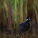 waterral-water-rail-11