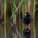 waterral-water-rail-14