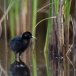 waterral-water-rail-15