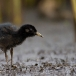 waterral-water-rail-20