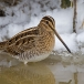 watersnip-common-snipe-05