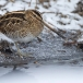 watersnip-common-snipe-09