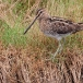 watersnip-common-snipe-20