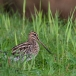 watersnip-common-snipe-21