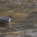 waterspreeuw-white-throated-dipper-03