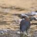 waterspreeuw-white-throated-dipper-13