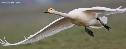 Wilde zwaan- Whooper Swan 13