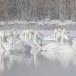 Wilde zwaan -  Whooper Swan  26