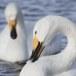 Wilde zwaan -  Whooper Swan  27