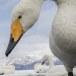 Wilde zwaan -  Whooper Swan  32
