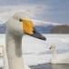 Wilde zwaan -  Whooper Swan  33
