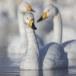 Wilde zwaan -  Whooper Swan  37