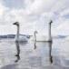 Wilde zwaan -  Whooper Swan  40