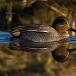 wintertaling-common-teal-06