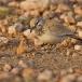 witbandleeuwerik-greater-hoopoe-lark-03
