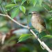 Witbrauwbuulbuul-White-browed-bulbul-01