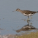 witgat-green-sandpiper-01