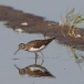 witgat-green-sandpiper-02