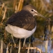 witgat-green-sandpiper-06