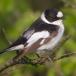 withalsvliegenvanger-collared-flycatcher-01