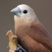 witkopnon-white-headed-munia-03