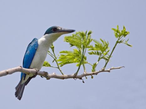 witkraagijsvogel-collared-kingfisher-01