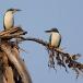 witkraagijsvogel-collared-kingfisher-02