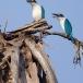 witkraagijsvogel-collared-kingfisher-03