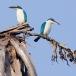 witkraagijsvogel-collared-kingfisher-04