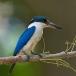 witkraagijsvogel-collared-kingfisher-06