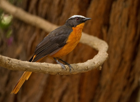 witkruinlawaaimaker-snowy-crowned-robin-chat-01