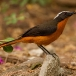 witkruinlawaaimaker-snowy-crowned-robin-chat-02