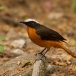 witkruinlawaaimaker-snowy-crowned-robin-chat-04