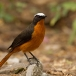 witkruinlawaaimaker-snowy-crowned-robin-chat-05