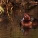witoogeend-ferruginous-duck-03