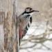 Witrugspecht -  White-backed woodpecker 03