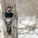 Witrugspecht -  White-backed woodpecker 05
