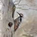 Witrugspecht -  White-backed woodpecker 07